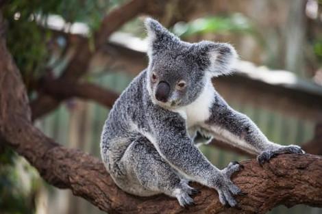 オーストラリアと言えば可愛いコアラ