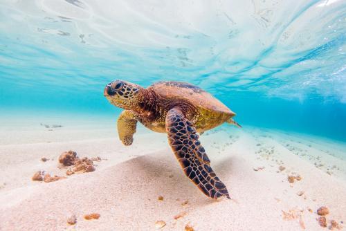 透明な海でのびのびと泳ぐハワイのアオウミガメ♪