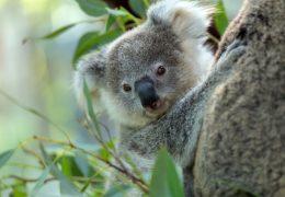 オーストラリア・コアラ