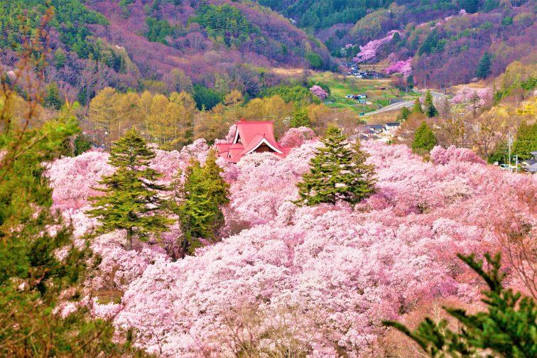 お花見2021 桜名所 コロナ 長野県 高頭城址公園