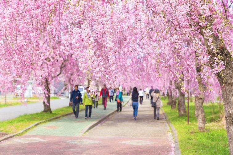 お花見2021 桜名所 コロナ 福島 日中線シダレザクラ