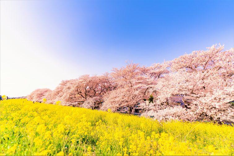 お花見2021 桜名所 コロナ 埼玉 熊谷桜堤