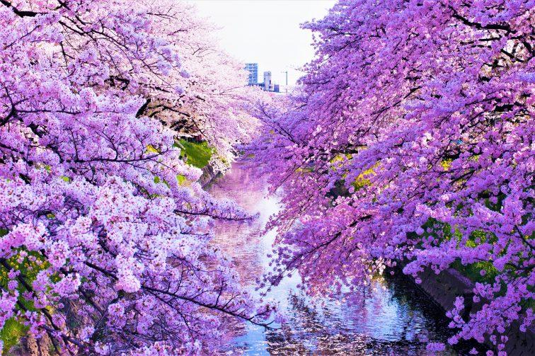 お花見2021 桜名所 コロナ 愛知県 五条川