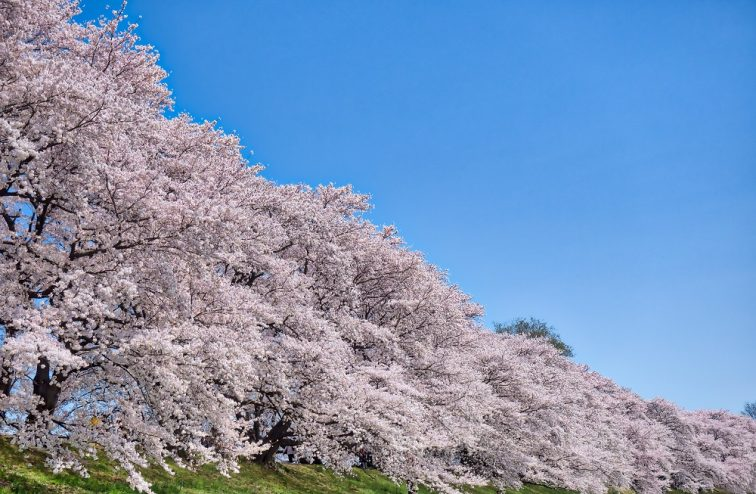 お花見2021 桜名所 コロナ 淀川河川公園背割堤地区