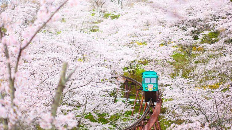 お花見2021 桜名所 コロナ 白石川堤一目千本桜