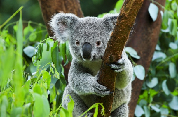 「ハートリースアドベンチャー」でコアラ抱っこも♪