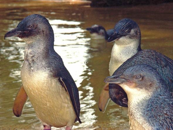 世界で1番小さな「フェアリーペンギン」