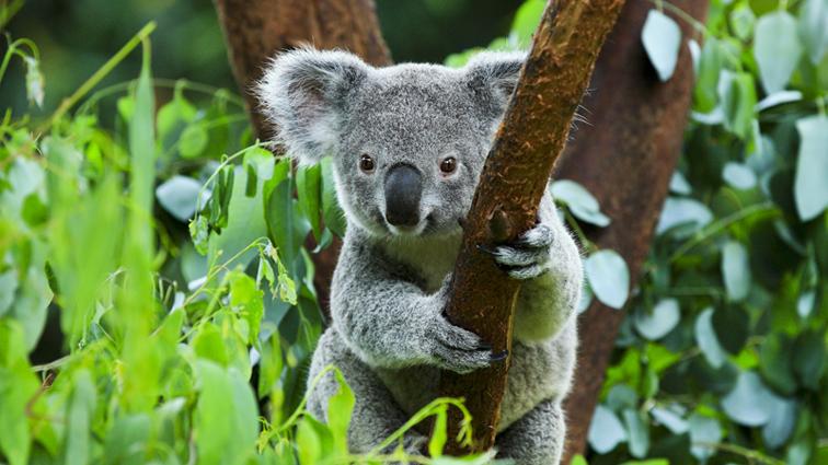かわいいコアラ/オーストラリア
