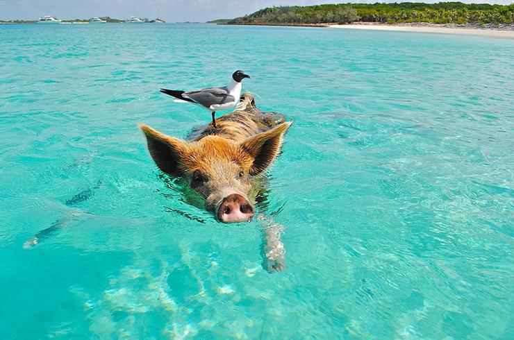 《魅惑の穴場ビーチ》エメラルドグリーンの海をブタと泳ごう!ビーチもホテルも夢のよう★カリブの楽園バハマ!