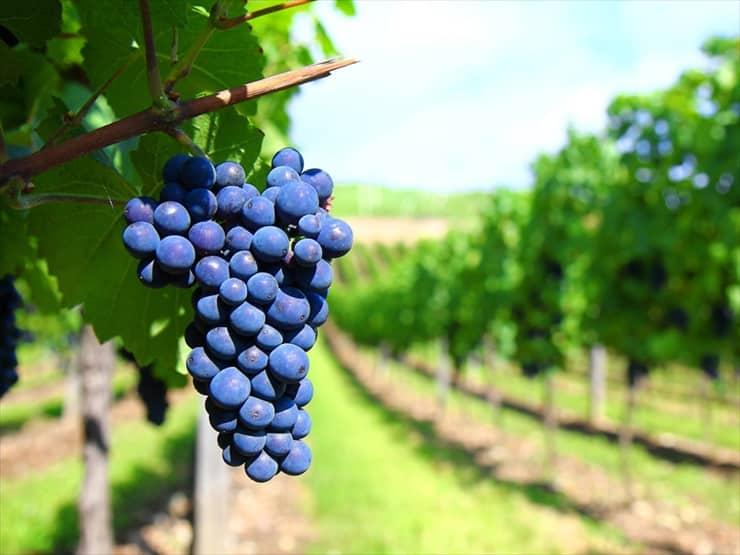 華やいだ香りが届きそうなぶどう畑に囲まれて。産地限定のワインをお土産に探したい。
