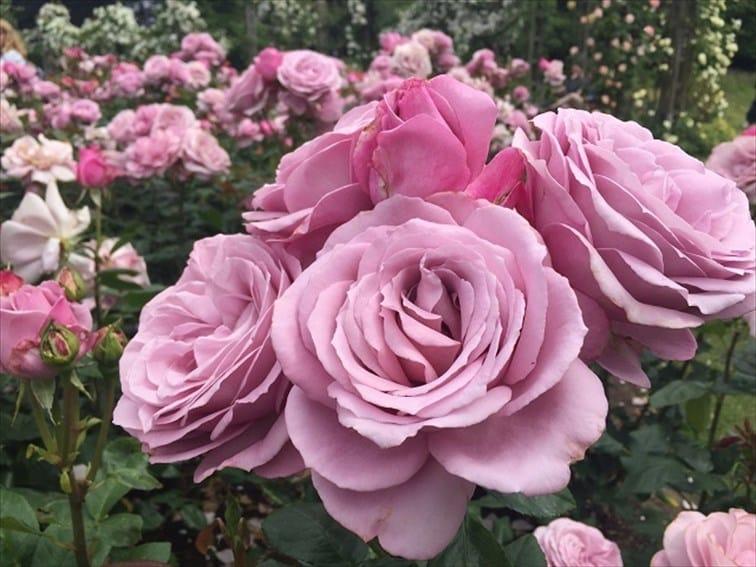リージェンツ・パークの麗しい薔薇