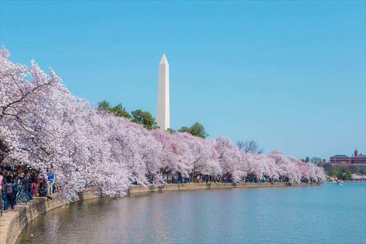 ワシントンD.C.で毎年春に開催される「ナショナル・チェリーブロッサム・フェスティバル(全米桜祭り)」