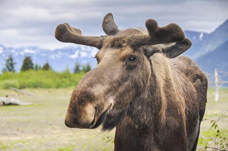 アラスカに生息する野生のムース(へらじか)