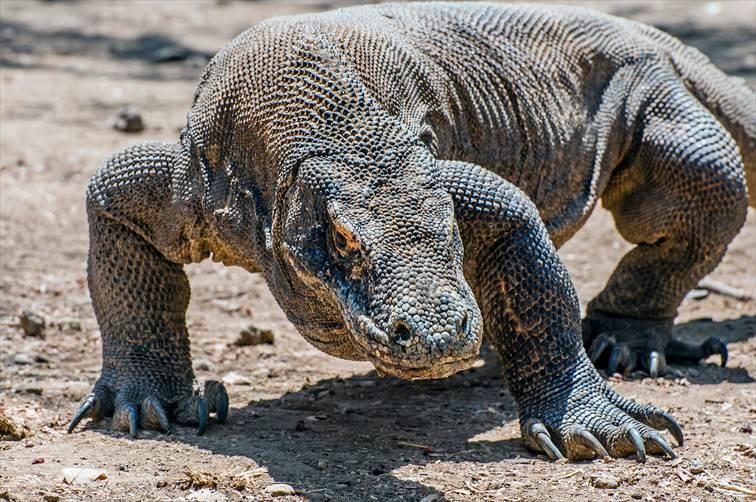 コモド島のコモドドラゴン
