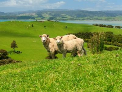 ニュージーランド・羊 (3×4)