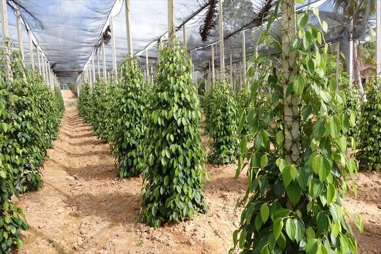 ヌクマムや胡椒の生産工場