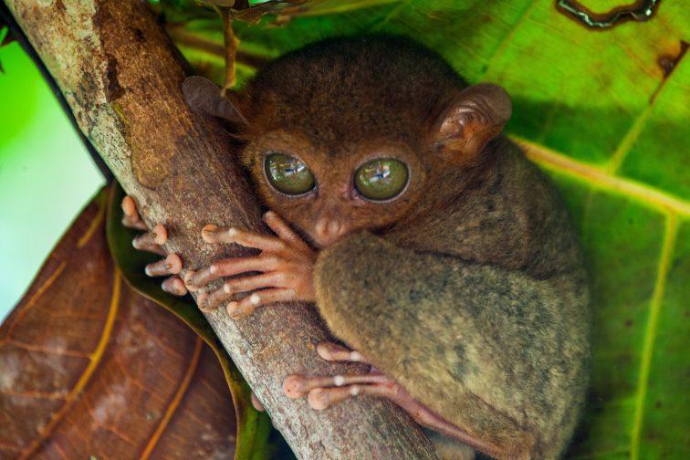 Little tarsier monkey in the tree