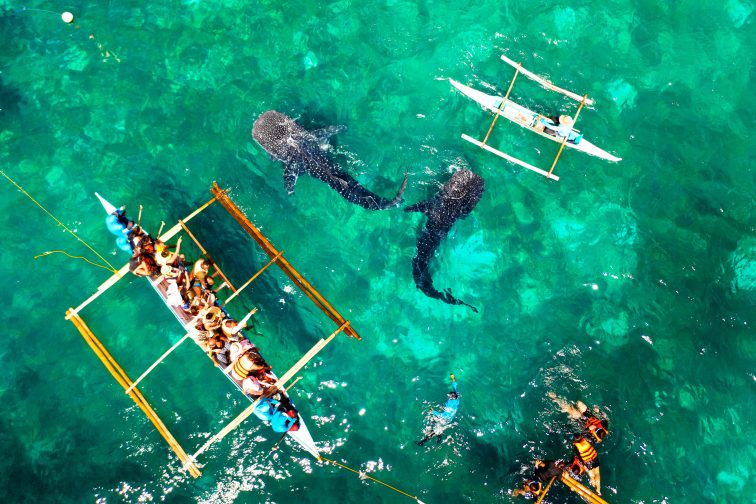 Whale Shark Watching in Oslob Cebu Island
