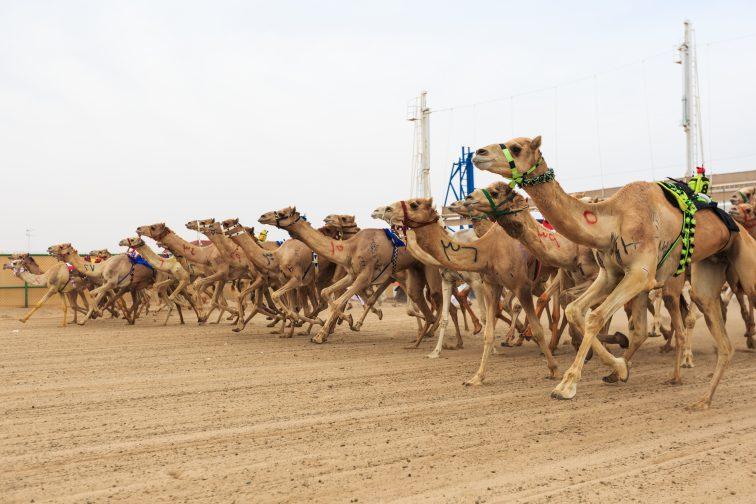 カタール ラクダレース場