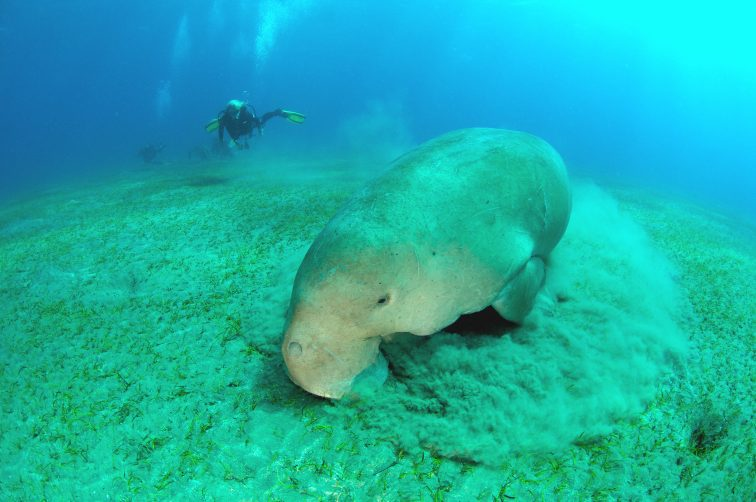 dugong eating seaweed