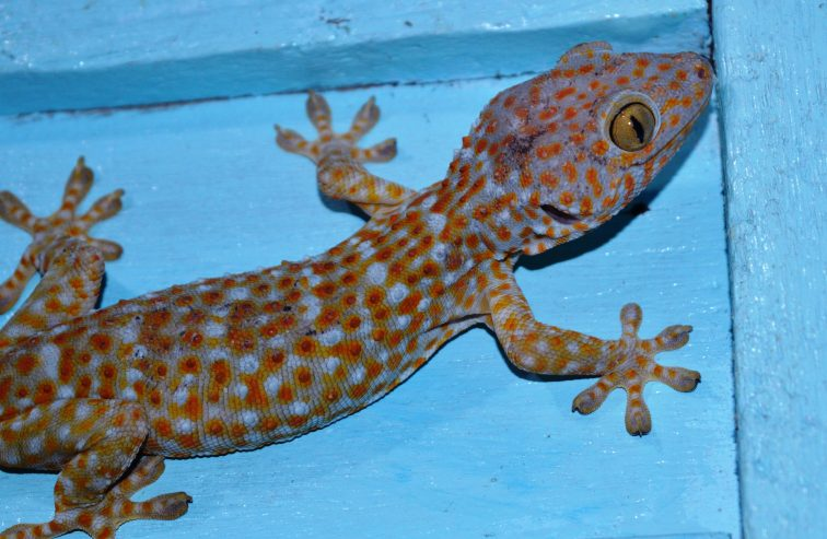 gecko in philippines