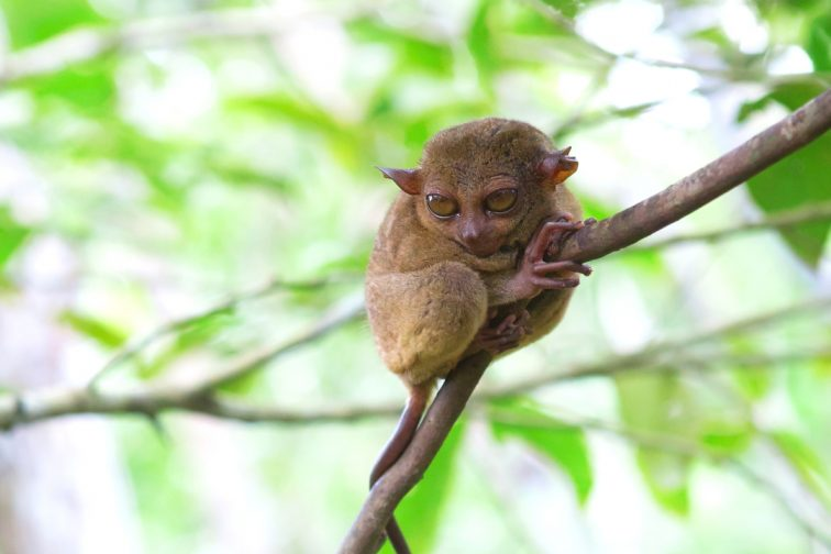 Philippine tarsier in the woods