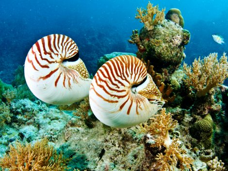 Couple of Nautilus palau tour