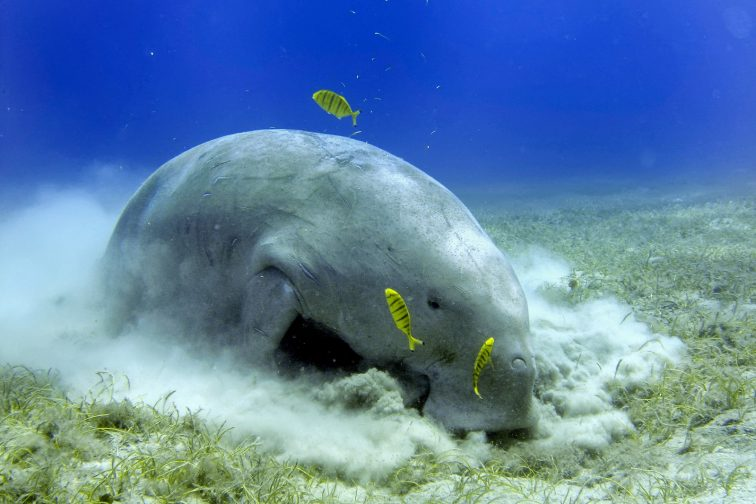 Dugong while digging sand for food