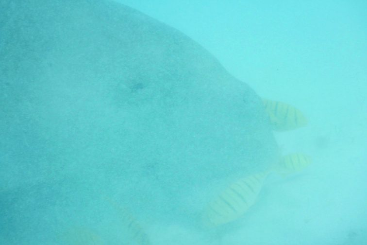 dugong eating food at the bottom of the sea!