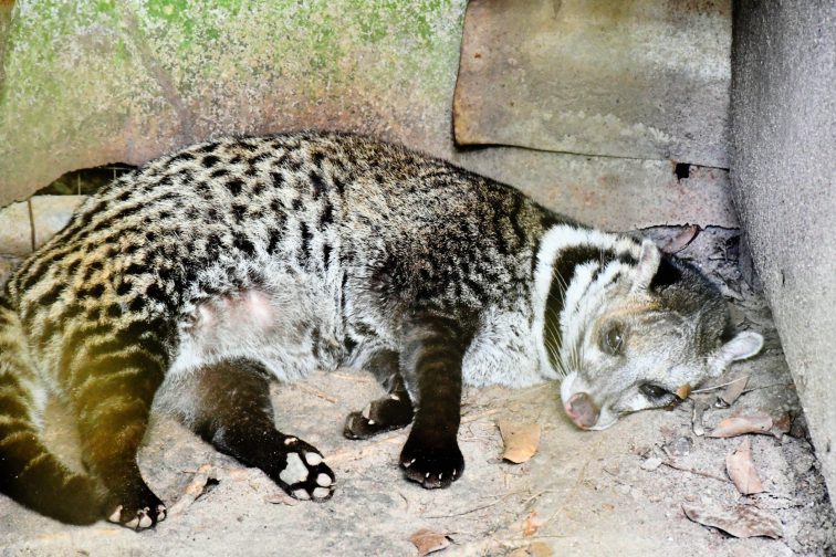 civet at zoo