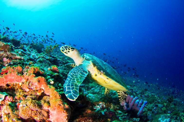 penida sea turtle