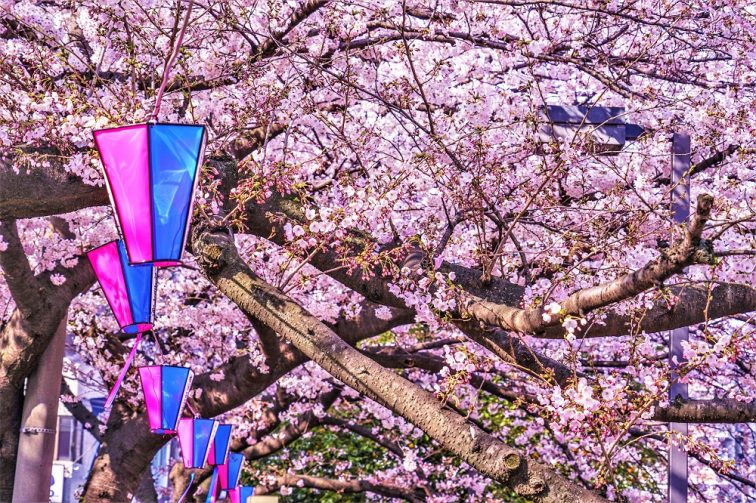お花見2021 桜名所 コロナ 横浜 大岡川