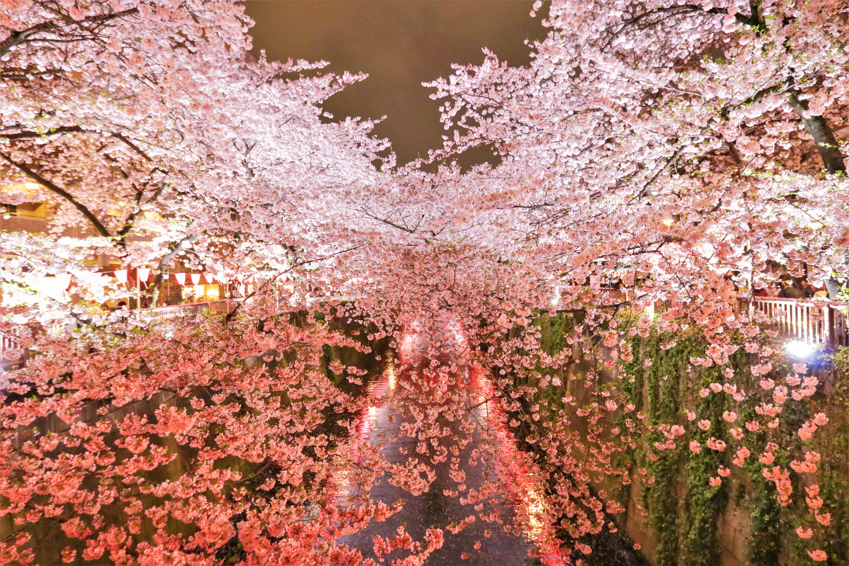 東京お花見 目黒川 桜 ライトアップ
