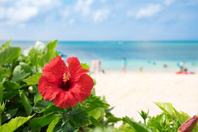 Hibiscus,Of,Okinawa,Where,The,Beach,Blooms
