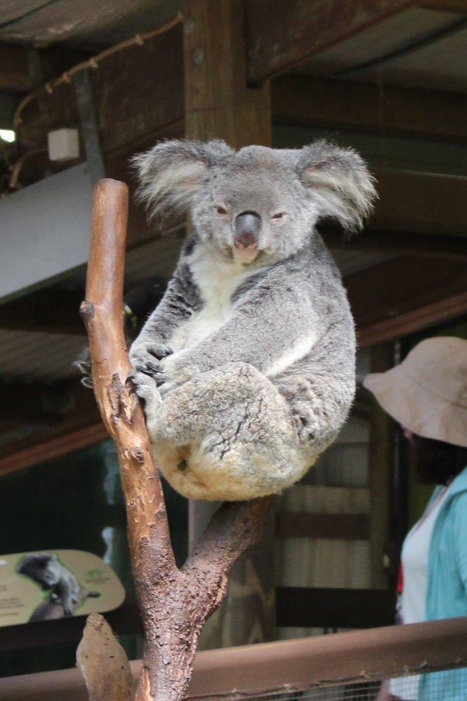 コアラ抱っこを初体験