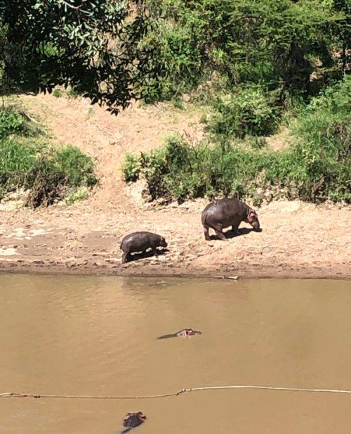 マサイマラで宿泊したロッジから見えるかば