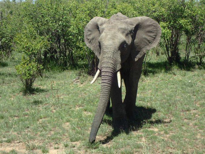 おっとりしたアフリカゾウ