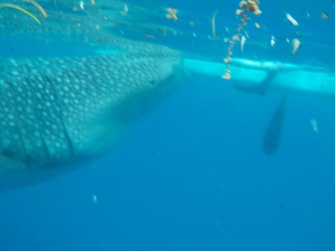 ジンベエザメの捕食をこんなに間近で!