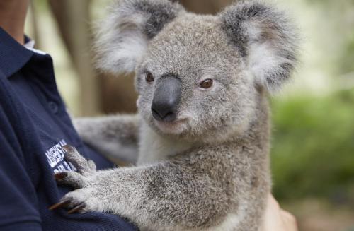 シドニーといえばコアラ
