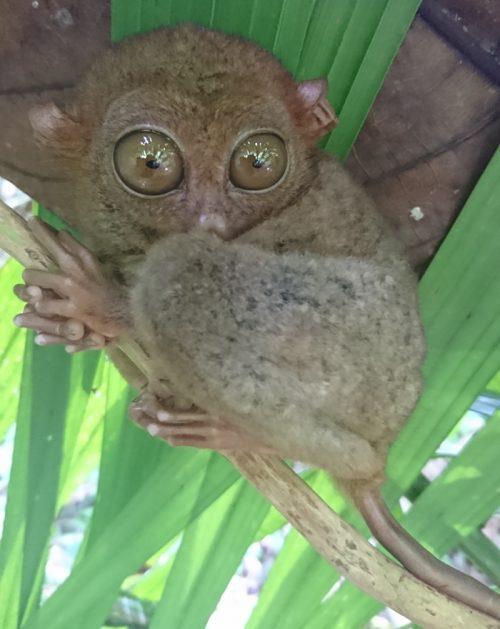 世界一小さいメガネザル「ターシャ」