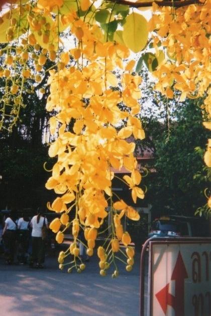 タイの黄色い花