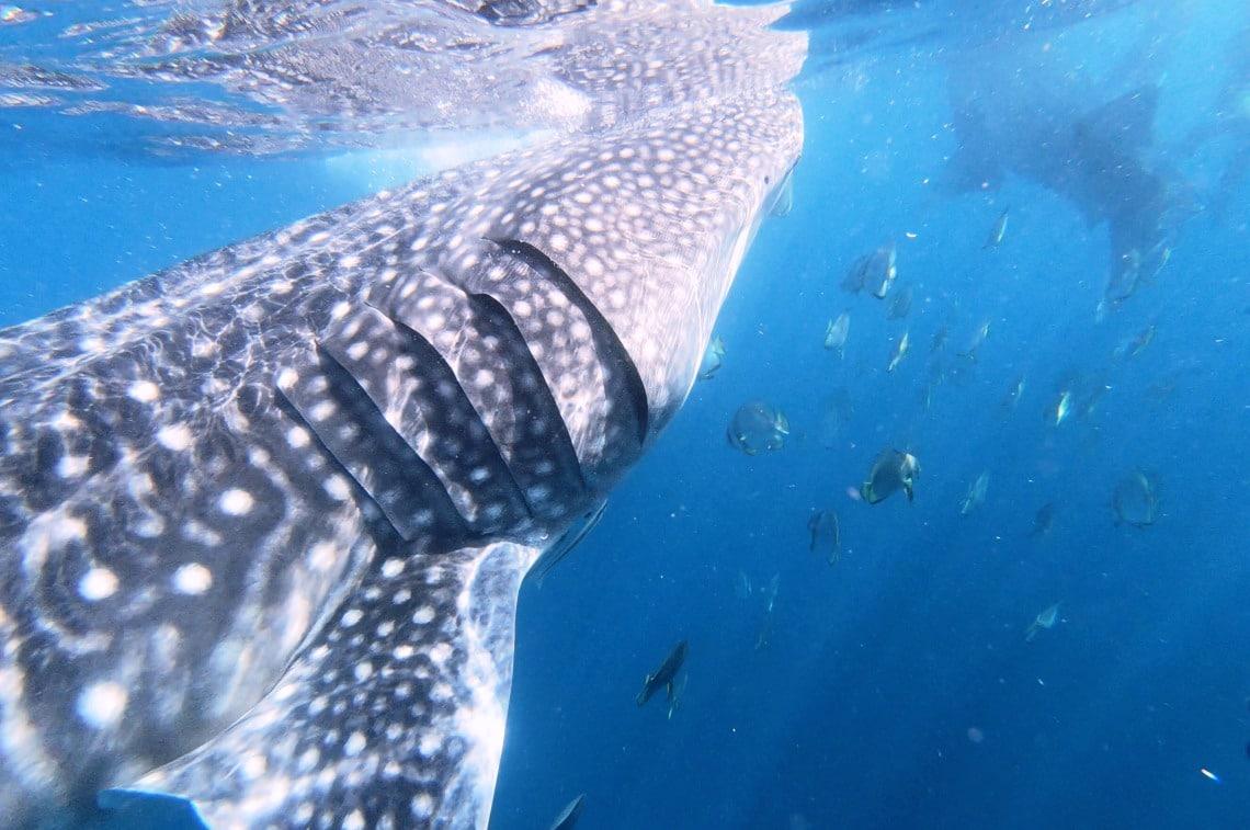 ジンベイザメ セブ島