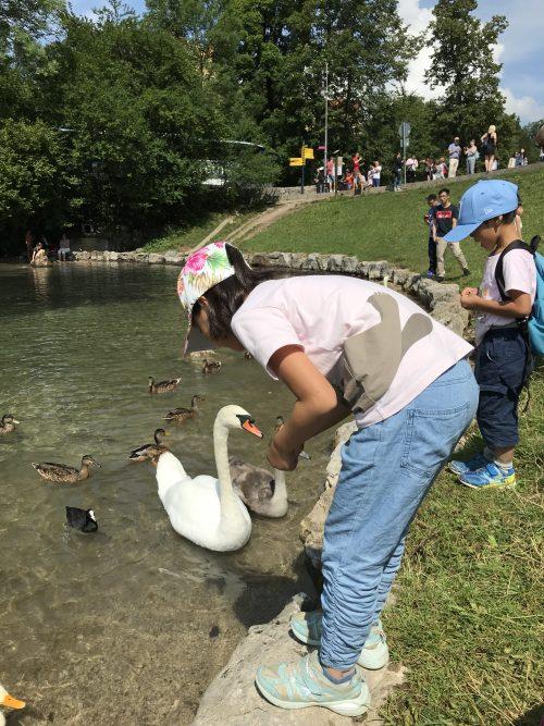 アルプ湖の白鳥にエサ