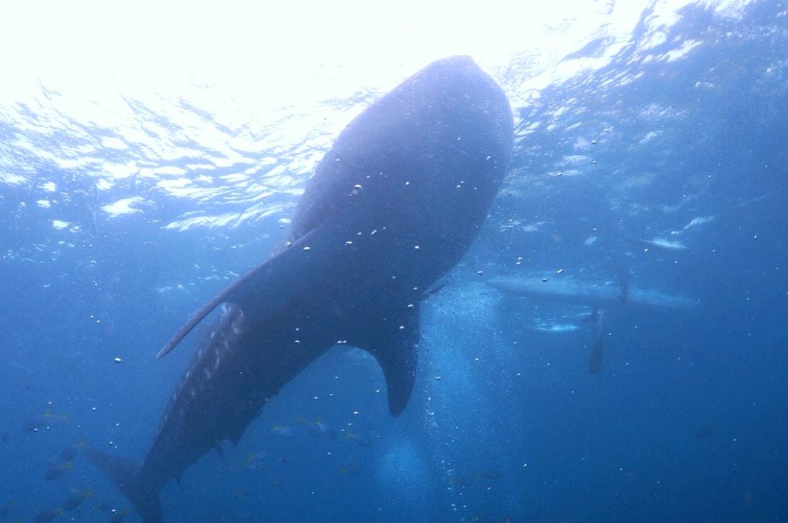 whale shark in Cebu