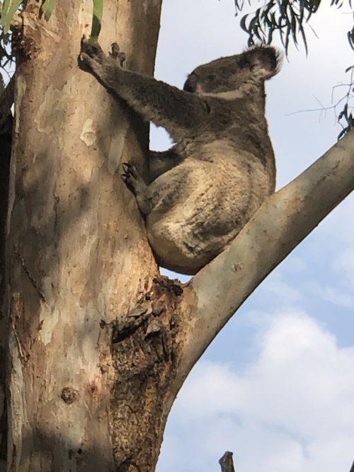 自然保護区の半野生のコアラ