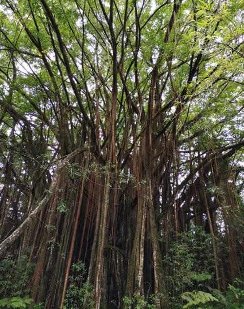 神秘的な熱帯植物の森