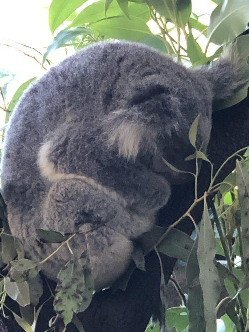 ケアンズの動物園「ワイルドライフドーム」のコアラ