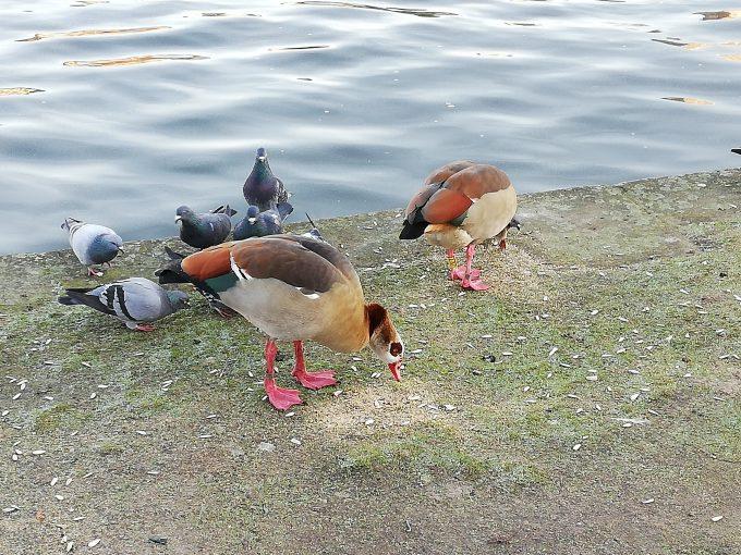 川辺の鴨たち