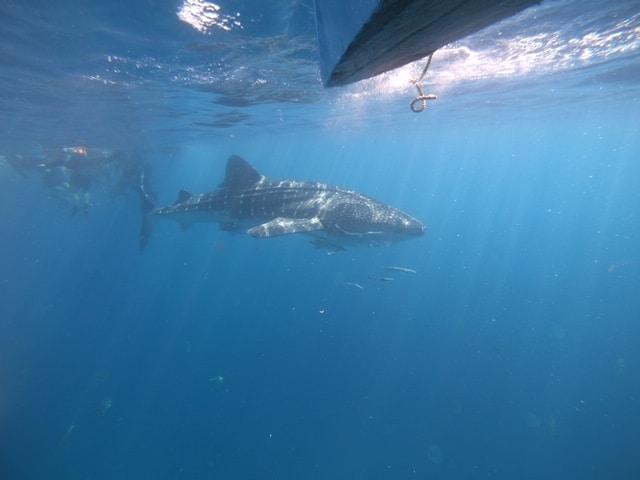 ジンベエザメと泳ぎました