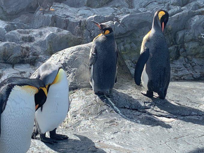 旭山動物園のペンギンたち